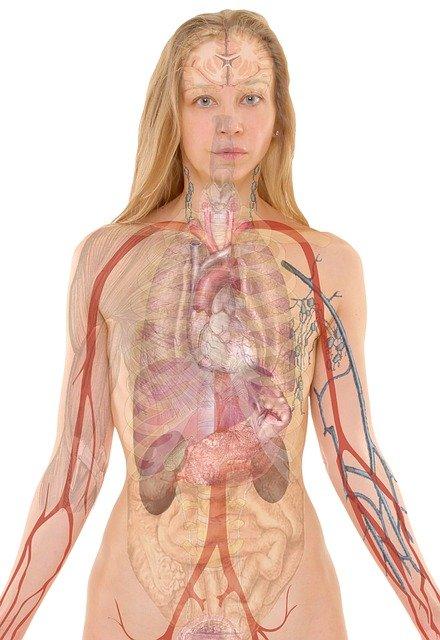 L'interstitium: à la découverte du potentiel plus gros organe du corps humain